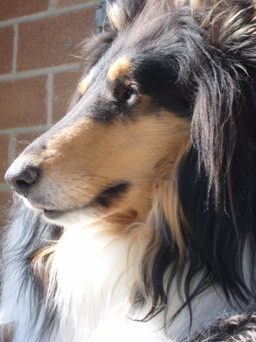 Collie staring off into the sun.